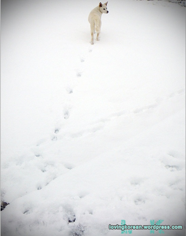 Jindo dog in the winter