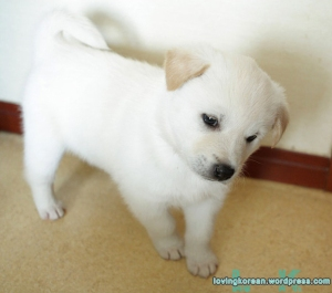 Korean Jindo puppy